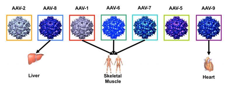 基因转移最常用的AAV载体以及其天然趋向性