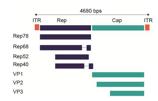 AAV2的基因图谱