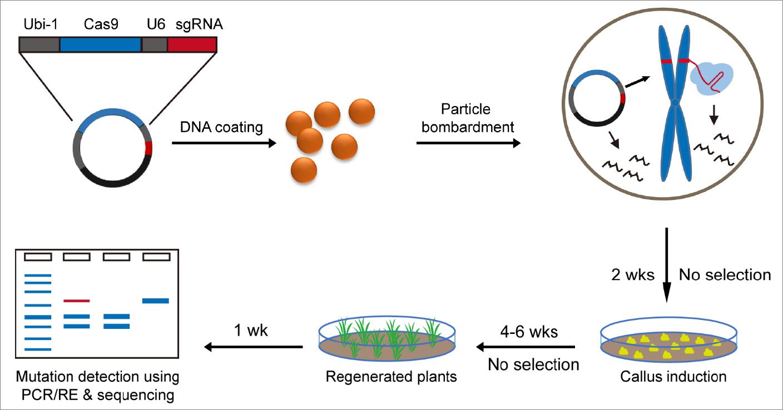 瞬时CRISPR/Cas9 DNA 编辑技术