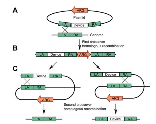 大肠杆菌基因组编辑
