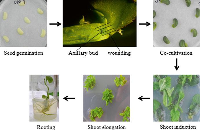 农杆菌介导的大豆子叶节转化法