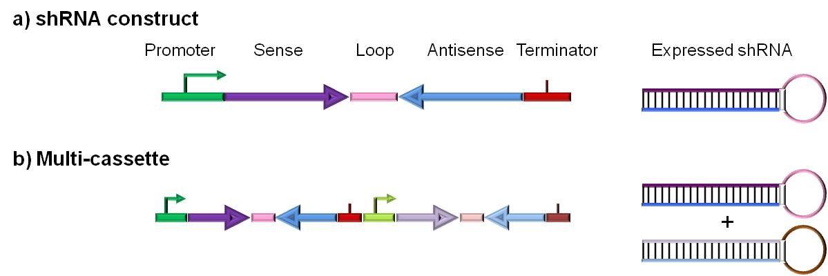 基于DNA的siRNA 载体构建示