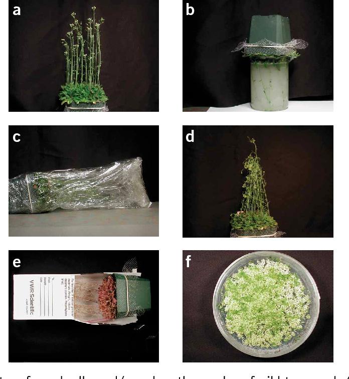 拟南芥蘸花法简要过程