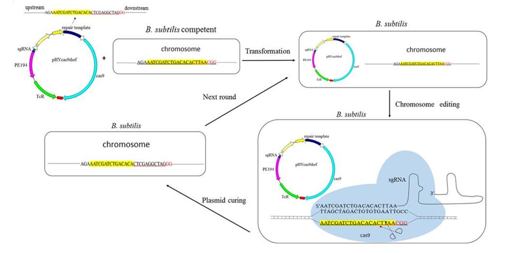 枯草芽孢杆菌基因组编辑