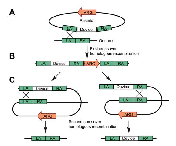 白色念珠菌基因组编辑