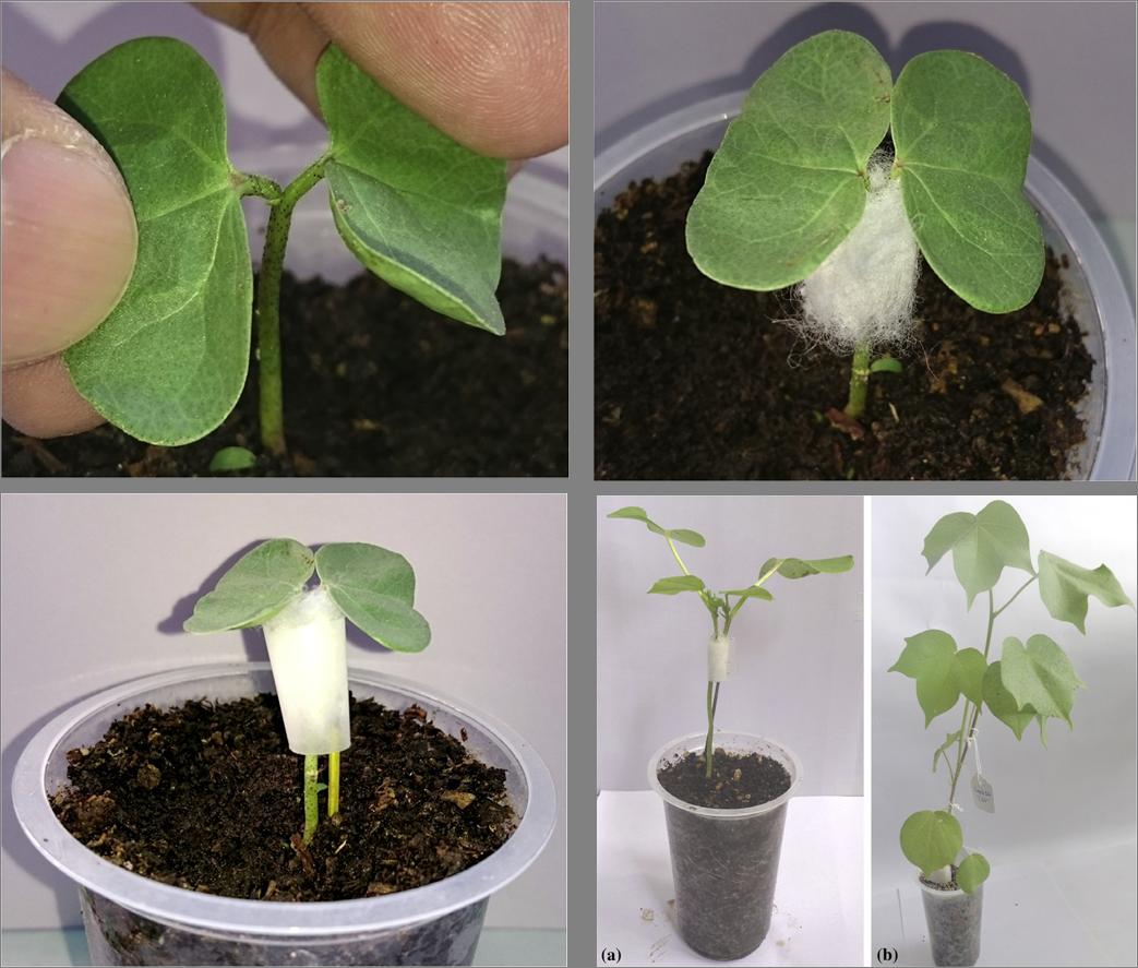 农杆菌介导的棉花原位转化方法