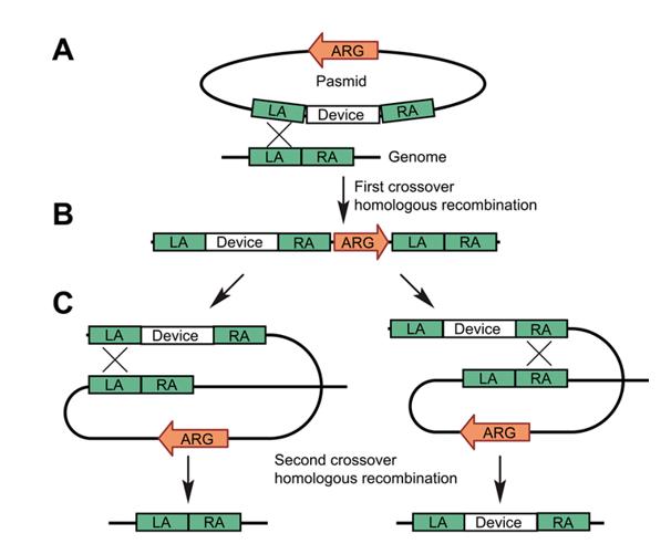 乳酸菌基因组编辑