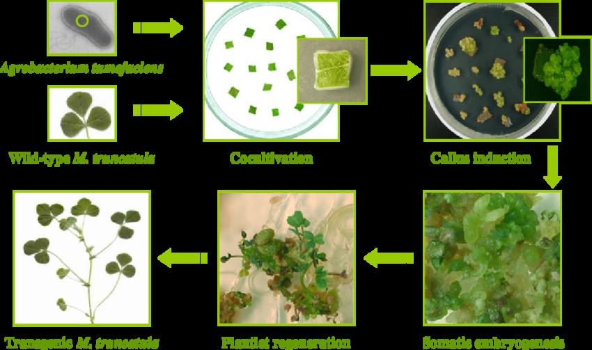 农杆菌介导的蒺藜苜蓿叶外植体转化