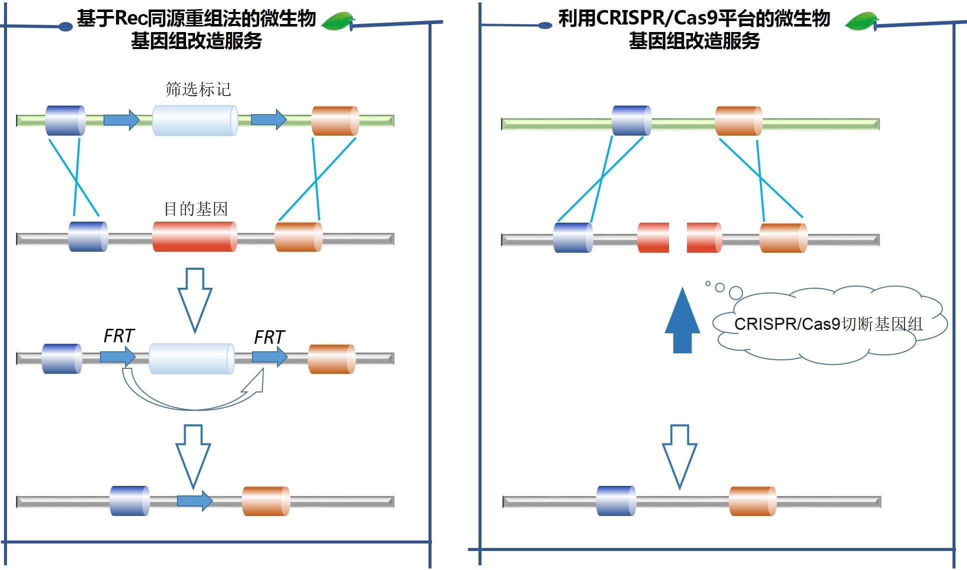 基于Rec同源重组法的微生物基因组改造服务和利用CRISPR/Cas9平台的微生物基因组改造服务