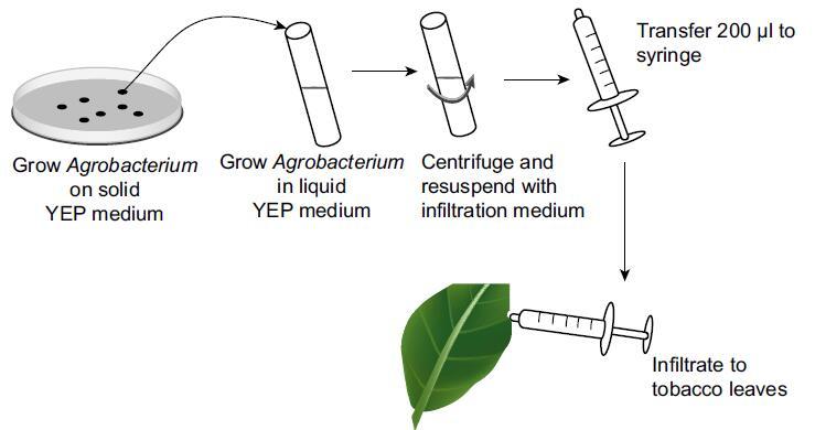 农杆菌介导的烟草叶片微注射瞬时转化