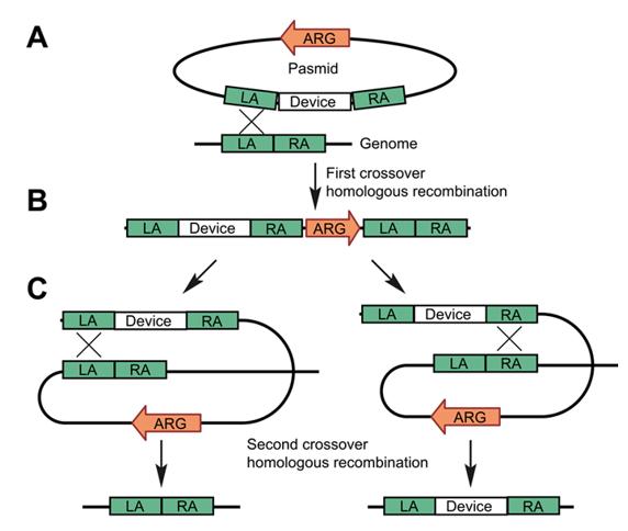 毕赤酵母基因组编辑