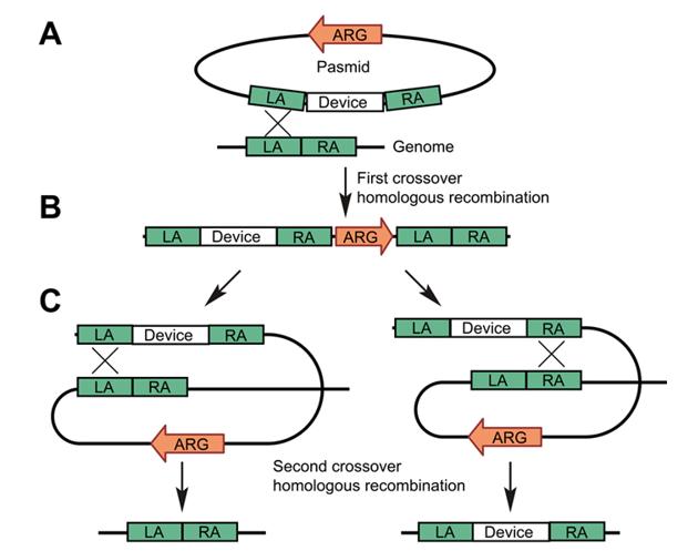 酿酒酵母基因组编辑